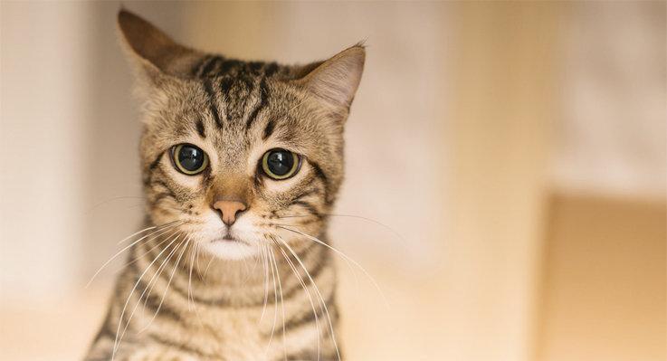 Un gato se puede enfermar por comer ratas .jpg